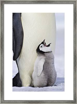 Emperor Penguin And Hungry Chick Framed Print by Jean-Louis Klein & Marie-Luce Hubert