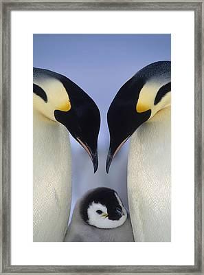 Emperor Penguin Family Framed Print by Tui De Roy