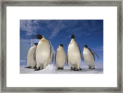 Emperor Penguins Antarctica Framed Print by Tui De Roy