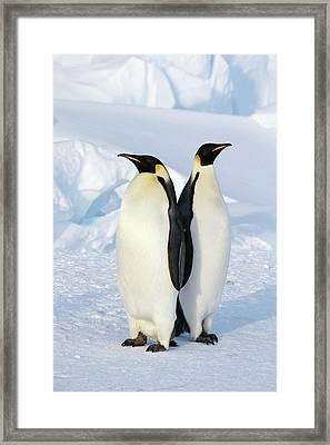 Emperor Penguins, Weddell Sea Framed Print by Joseph Van Os