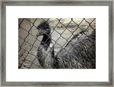 Emu At The Zoo Framed Print by Luke Moore
