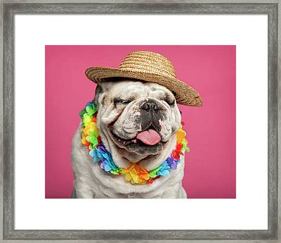 English Bulldog (18 Months Old) Framed Print by Life On White