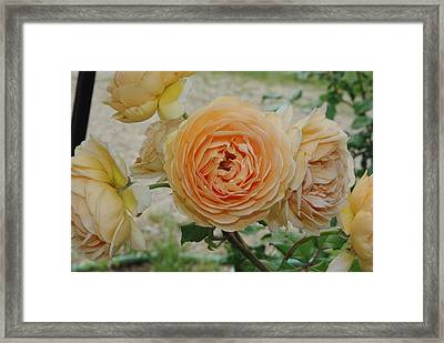 English Rose Apricot Crown Princess Margareta 2 Framed Print by Robyn Stacey