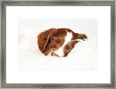 English Springer Spaniel Puppy Sleeping On Fur Framed Print by Susan Schmitz
