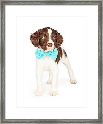 English Springer Spaniel Puppy Wearing Bow Tie Framed Print by Susan Schmitz