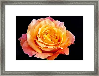Enticing Beauty The Orange  Rose Framed Print by Daphne Sampson