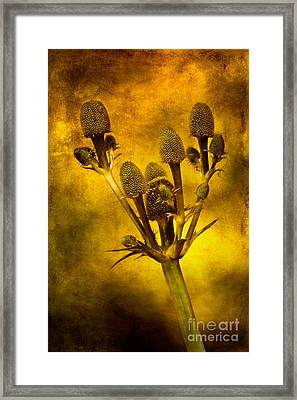 Eryngium Gold Framed Print by John Edwards