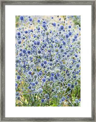 Eryngium Tripartitum Flowers Framed Print by Tim Gainey