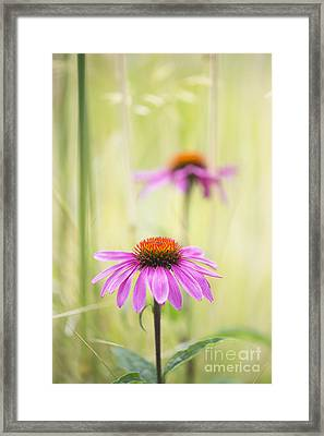 Essence Of Echinacea Framed Print by Tim Gainey