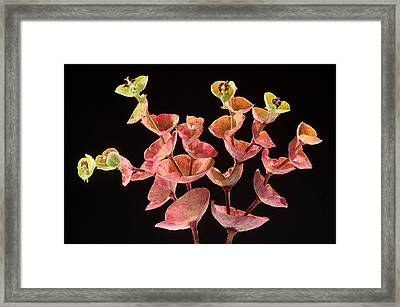 Euphorbia Framed Print by Peter OReilly
