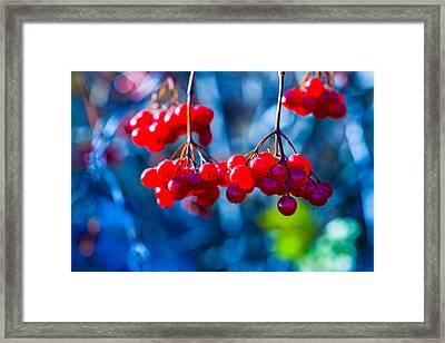 European Cranberry Berries Framed Print by Alexander Senin