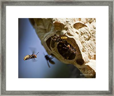 European Hornets Framed Print by Per-Olov Eriksson