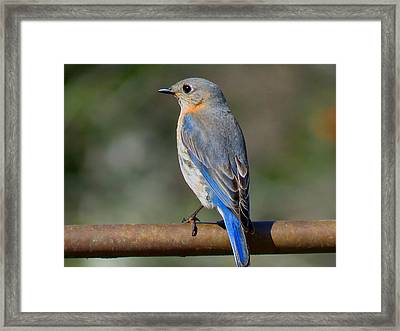 Evening In Blue Framed Print by Dianne Cowen
