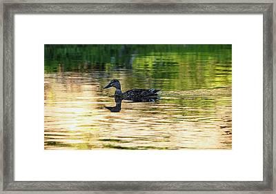 Evening Swim Framed Print by Debbie Oppermann