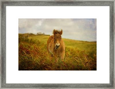 Exmoor Wild Pony Framed Print by Carla Parris