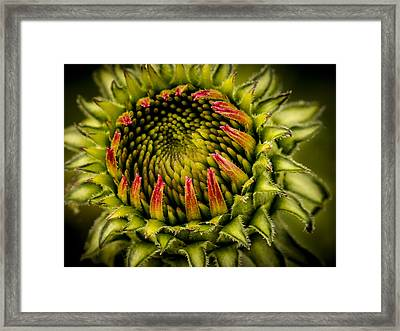 Expanding Ecchinacea Bud Framed Print by Jean Noren