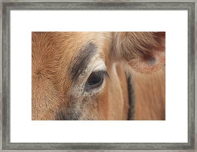 Eyebrow Cow/bull Closeup, Kodaikanal Framed Print by Jennifer Mazzucco