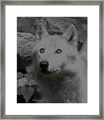Eyes Of The Wolf Framed Print by Debra     Vatalaro