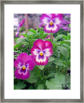 Faces Of Viola Flowers Framed Print by Kay Novy