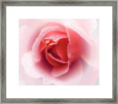 Faded Rose Framed Print by Stephen Anderson