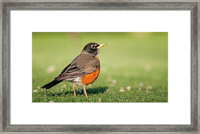 Fairway Robin Framed Print by Andrew Johnson