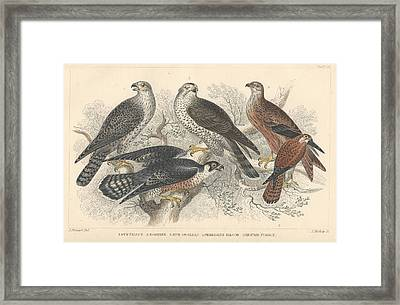 Falcons Framed Print by Oliver Goldsmith