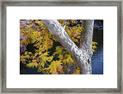 Fall Colors At Slide Rock Arizona- Tree Bark Framed Print by Dave Dilli