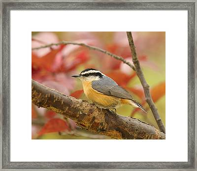 Fall Colors Nuthatch Framed Print by Lara Ellis