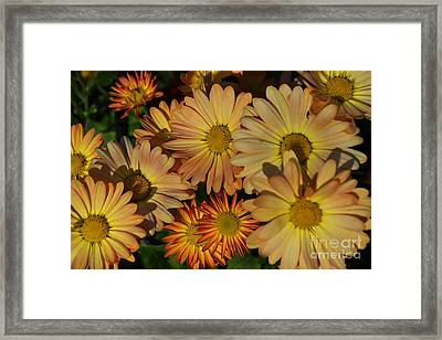 Fall Flowers In Madison  Framed Print by Amy Lucid