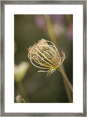 Fall Queen Anne's Lace Framed Print by Thomas Young