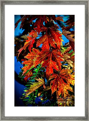 Fall Reds Framed Print by Robert Bales