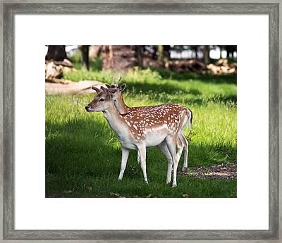 Fallow Deer In Richmond Park Framed Print by Rona Black