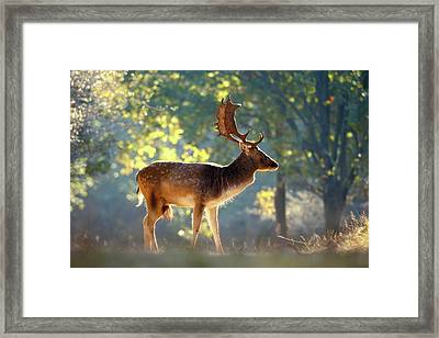 Fallow Deer In The Forest Framed Print by Roeselien Raimond