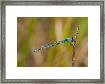 Familiar Bluet Framed Print by Gerald DeBoer