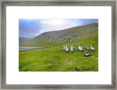 Faroes Geese Framed Print by Robert Lacy