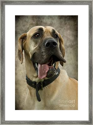 Fawn Great Dane Framed Print by Ethiriel  Photography