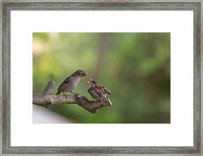 Feeding Time House Sparrows Framed Print by Terry DeLuco
