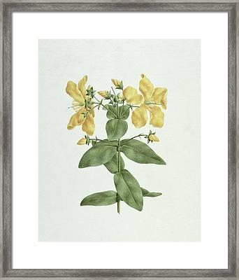 Feel-fetch - Hypericum Quartinianum Framed Print by James Bruce