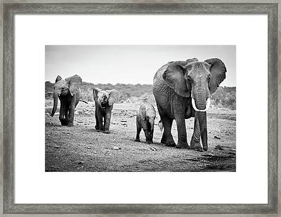 Female African Elephant Framed Print by Cedric Favero
