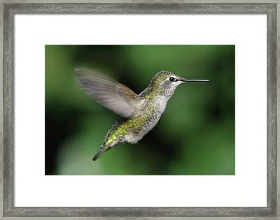 Female Anna's Hummingbird In Flight Framed Print by Barbara Rich