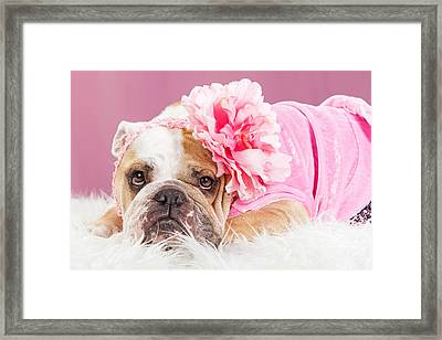Female Bulldog Wearing Pink Outfit And Flower Framed Print by Susan  Schmitz