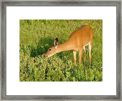 Female Deer Eating Framed Print by John Radosevich