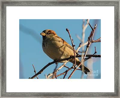 Female House Sparrow Framed Print by Mike Dawson