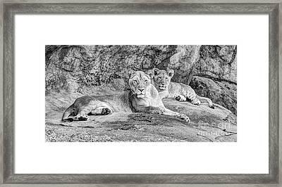 Female Lion And Cub Bw Framed Print by Marv Vandehey