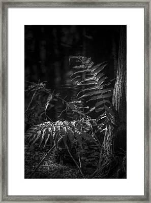 Fern And Cypress B/w Framed Print by Marvin Spates