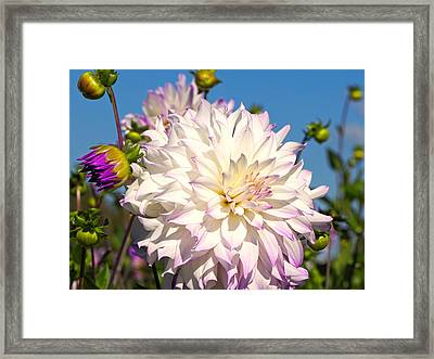 Ferncliff Illusion Giant Dahlia Framed Print by Sharon Talson