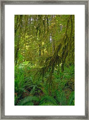 Ferns And Moss In Hoh Rainforest Framed Print by Dan Sproul