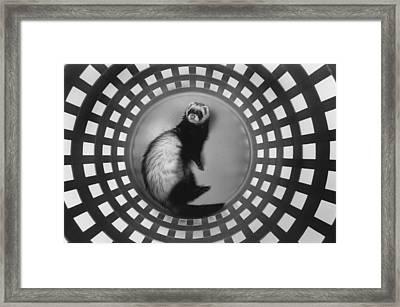 Ferret In Circles Framed Print by Matt Plyler