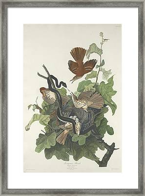 Ferruginous Thrush Framed Print by John James Audubon