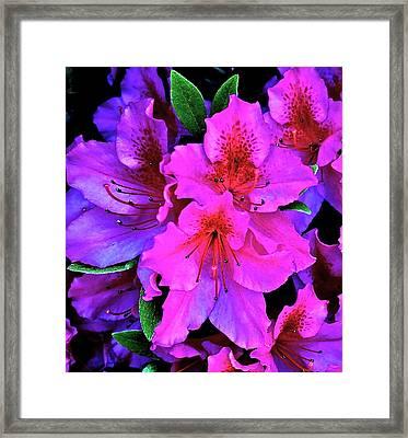 Festive Azalea Framed Print by Gwyn Newcombe